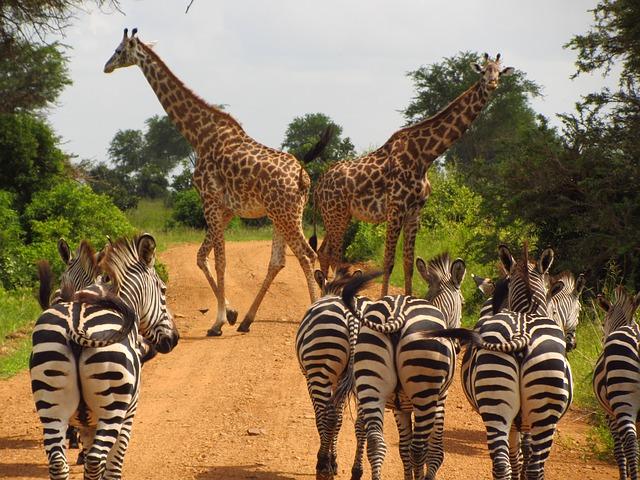 Zebras in Tansania