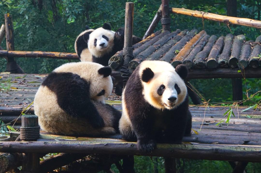 panda-chine-chengdu