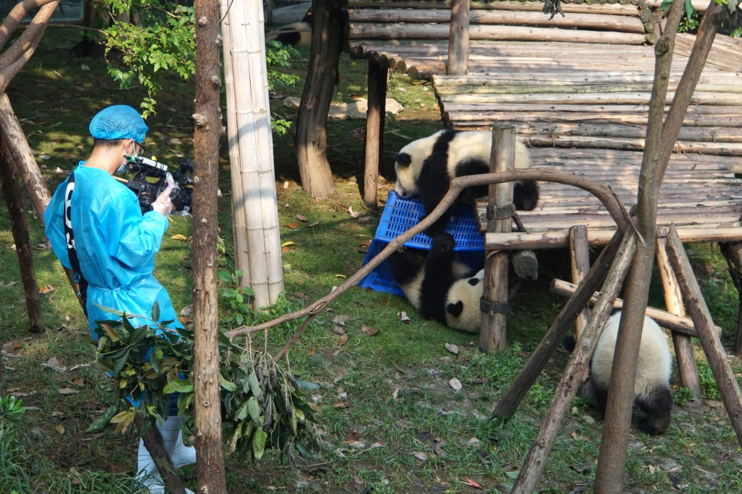 panda-chengdu-protection