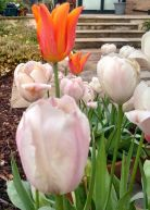 """Tulip pot"" in Liz F's garden"