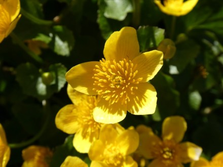 Marsh Marigold in garden pond