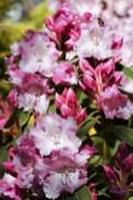 "A series of ""Azalea, Camellia, Rhododendron in my garden Long Lane Aughton"" from Colin R"