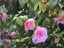 Beautiful Pink Camelia in the garden of David G