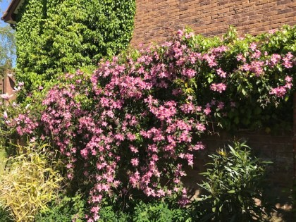 Clematis ' Broughton Star' - planted this in the side garden about 10 yrs ago - great over walls / fences - masses of flowers - always at its best in April/ May.