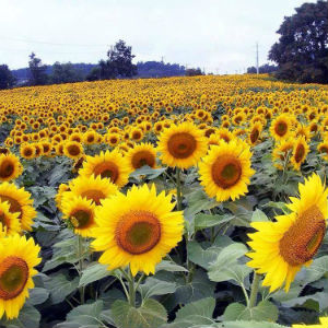sunflowers walk of hope