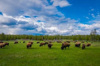 bison farmers