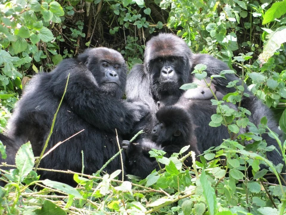 4-day Rwanda Mountain Gorillas Trekking tour Package