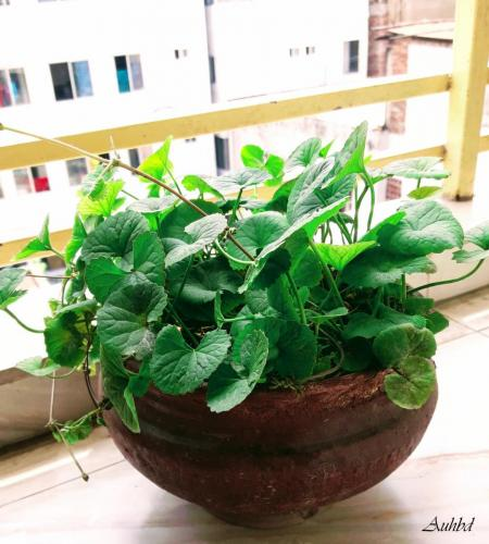Centella Asiatica In Urban Balcony