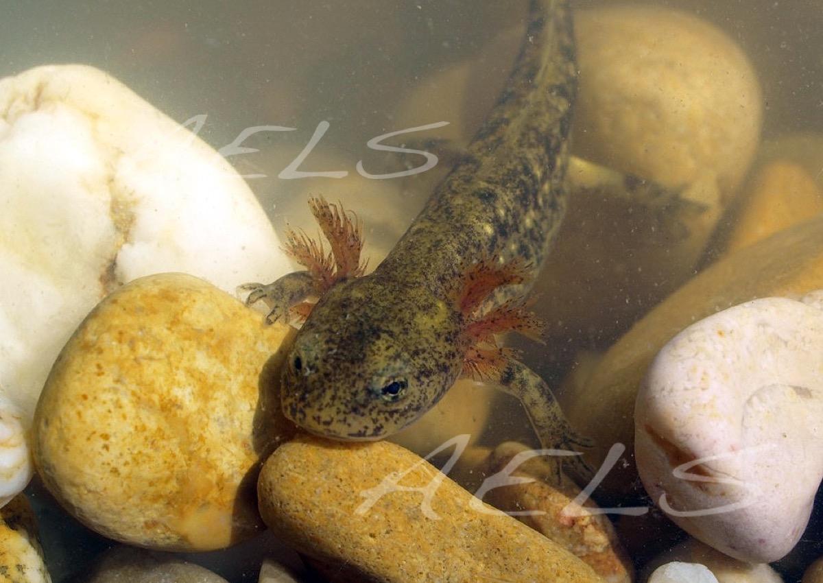 larva Salamandra salamandra
