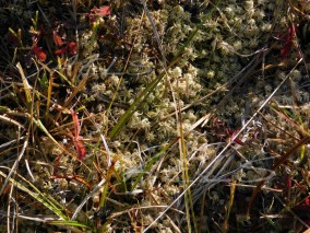Esfagnos casi secos junto a Potentilla palustris en la turbera.
