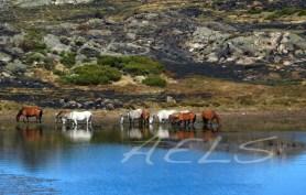 Caballos abrevando en las orillas de la laguna del Cuadro el 5 de octubre de 2017.
