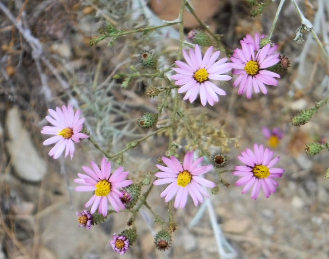 Pacxific Aster is still in bloom in mid-October.