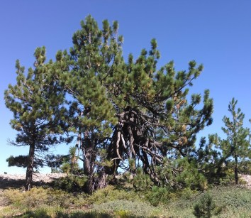 A Jeffrey Pine, stuck by lightning. It can no longer grow upwards so it grows outward and downward instead. It's healthy progeny grow beside it.