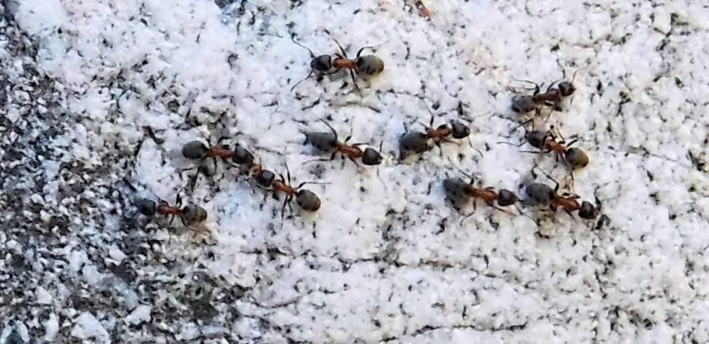 Piru Creek ants