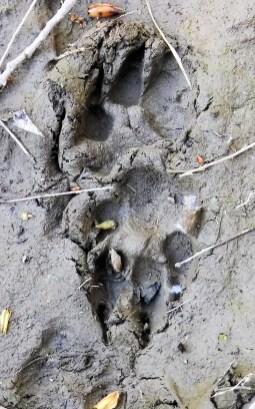 Piru Creek deer tracks
