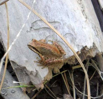 Piru Creek frog