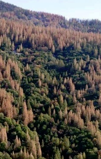 Yosemite bark beetle damage