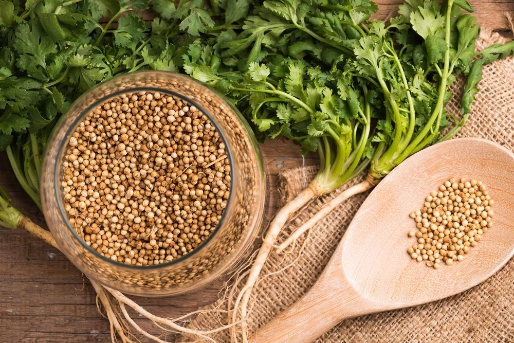 coriander seeds and leaves fresh green cilantro on a wooden background , food herbal aroma ingredient .
