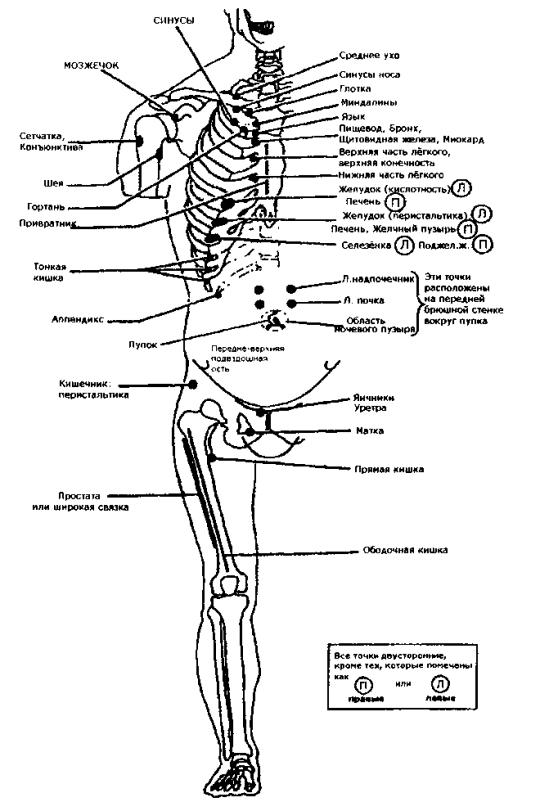 Рис. 41. Передние точки Чэпмена (по R. С. Ward, В. Peterson, 1997)