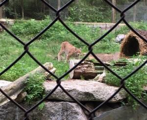 IMG_5866, Ähtäri, ilves, Ähtäri zoo, Pohjanmaa