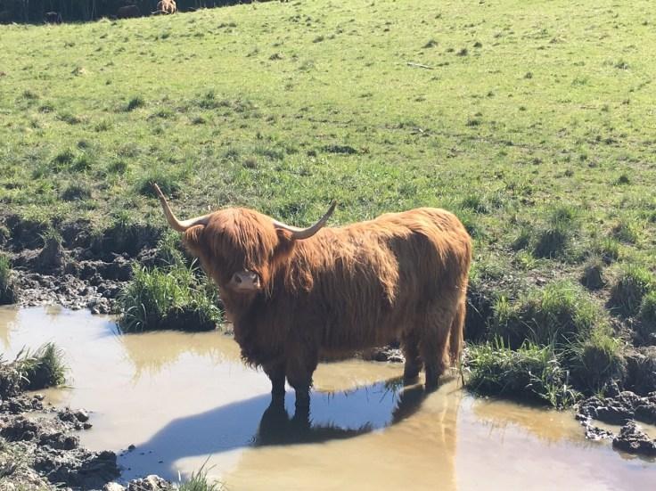 img_8599, Highland cattle, haikku, haikut laitumella, Salo, laitumella, Jusala, Jusalan tila