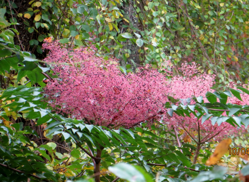 elderberry?
