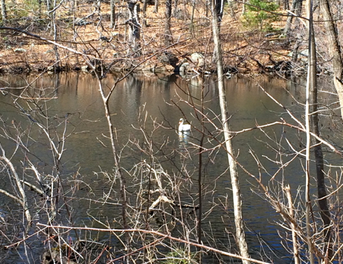 swan on stillwater pond