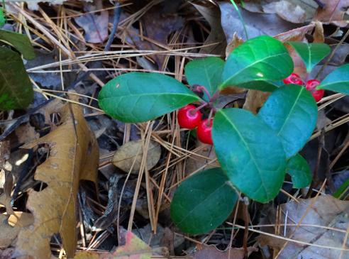 wintergreen berries