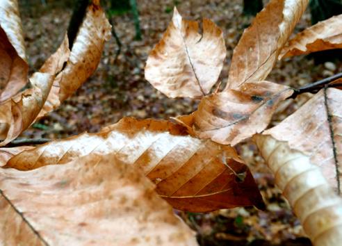 stubborn beech leaves