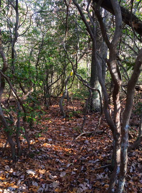 laurel jungle