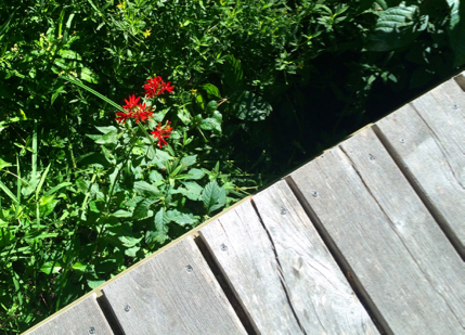 cardinal flower by the tomaquag brook bridge