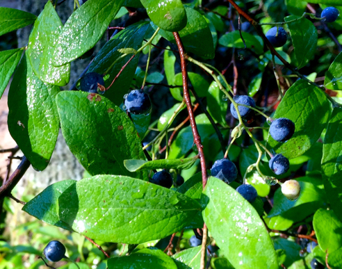 dewy blueberries