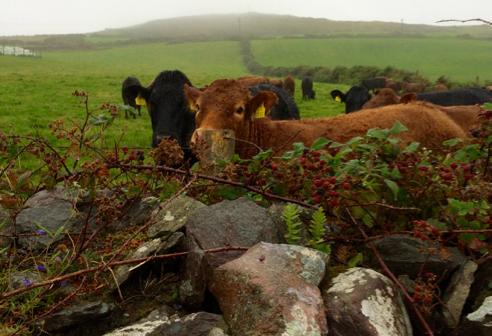 more cows