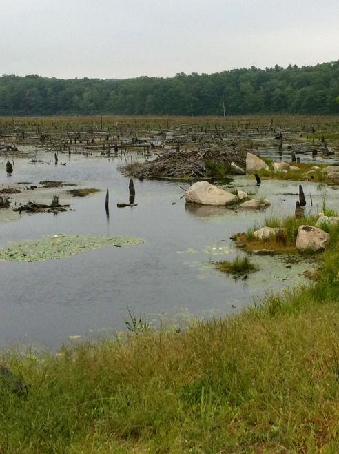 beaver lodge on black spruce pond