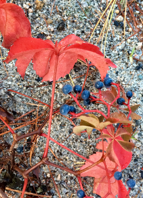 virginia creeper and berries