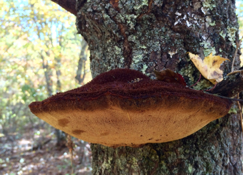beautiful polypore