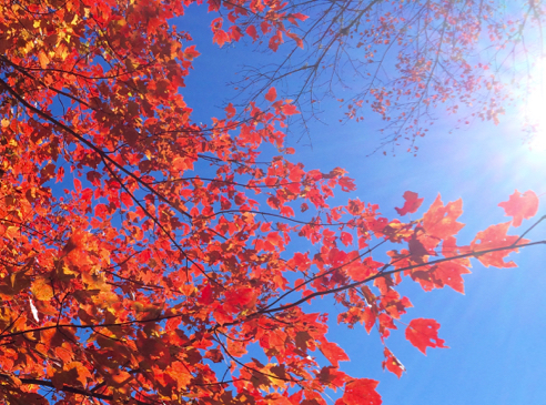 vivid maple foliage