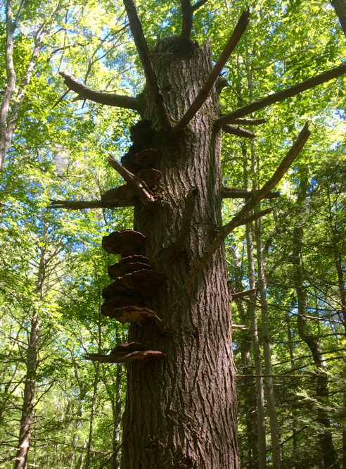 Old Hemlock with Reishi Mushrooms attached