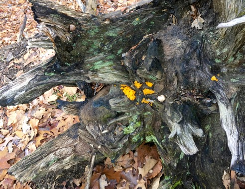 Witches Butter