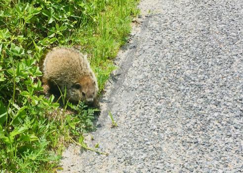 Aggressive Groundhog