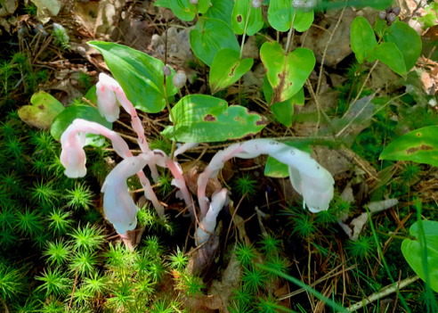 Pink Ghost Pipes, Monotropa uniflora
