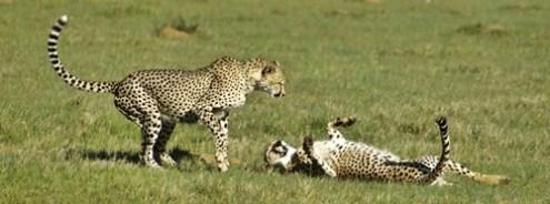 Cheetah brothers playing in the early morning sun. Clara Lindberg 2014