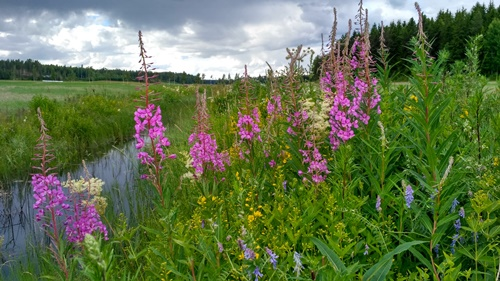 Finnish wildflowers