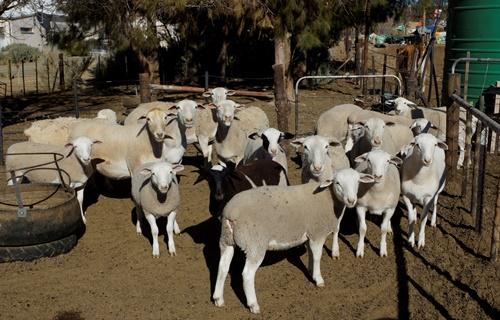 Langbaken dorper sheep