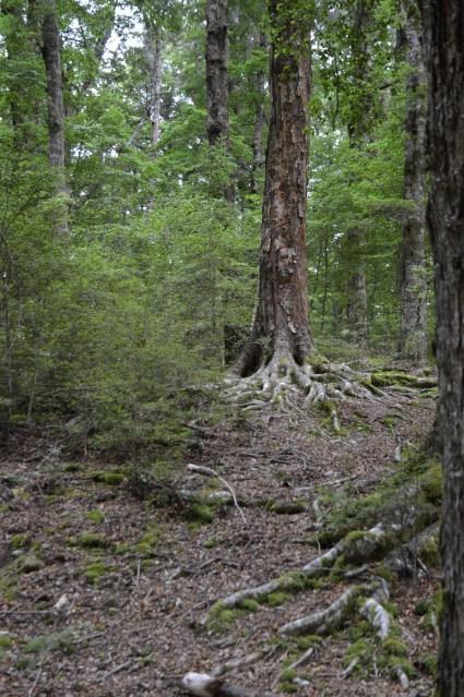 Frodo's hiding tree!