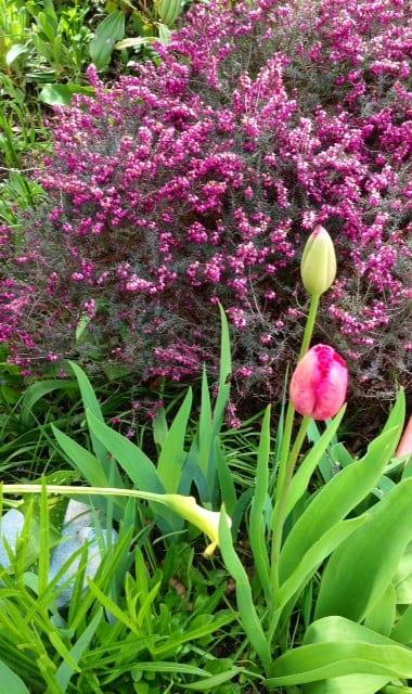 auntie stress tulips