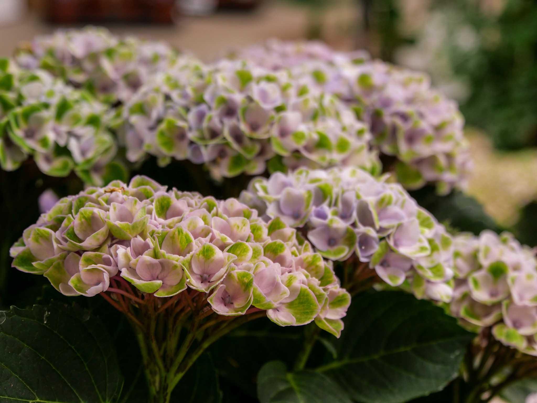 Hortensia au pouvoir des fleurs