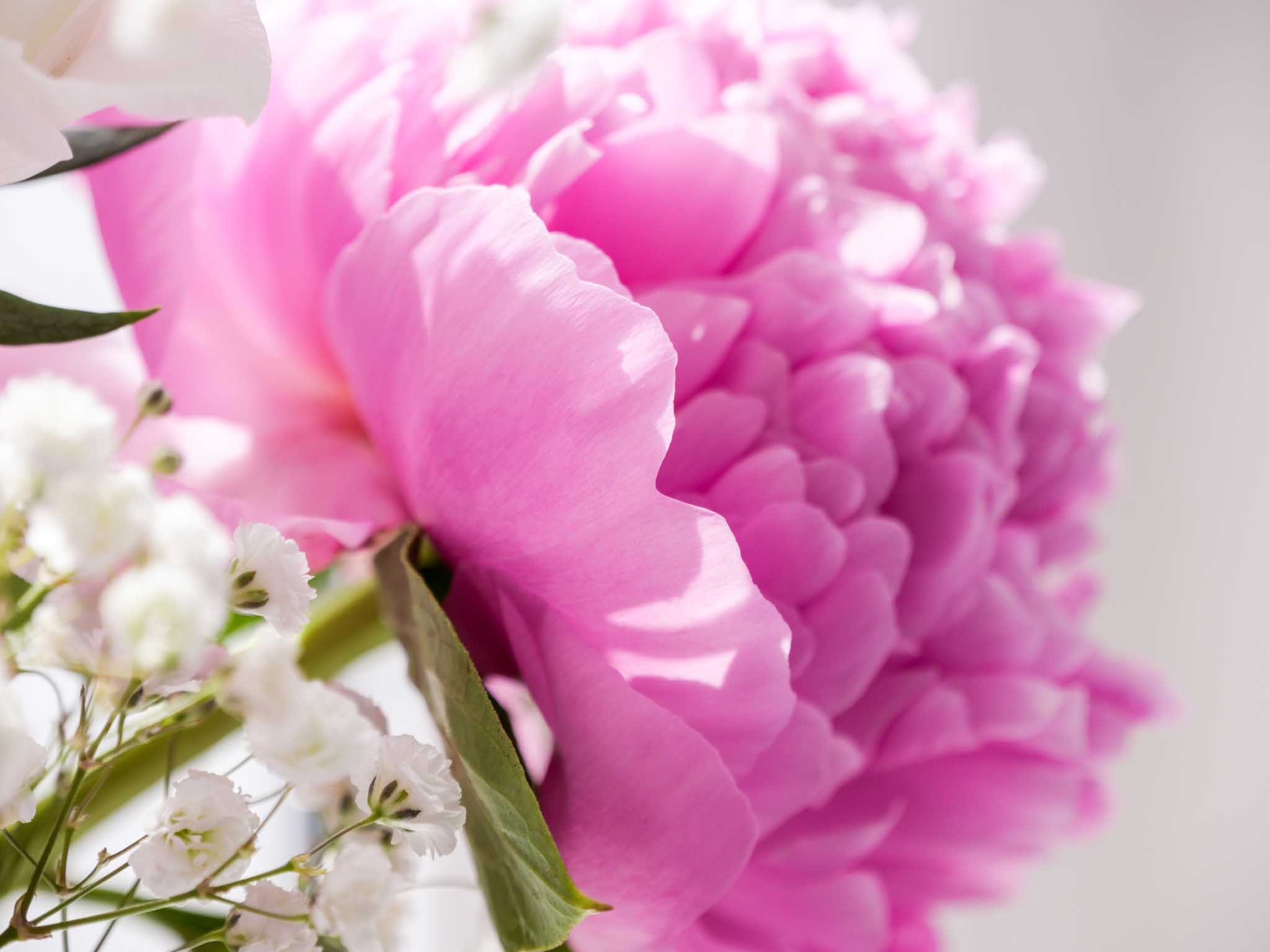Pivoines rose