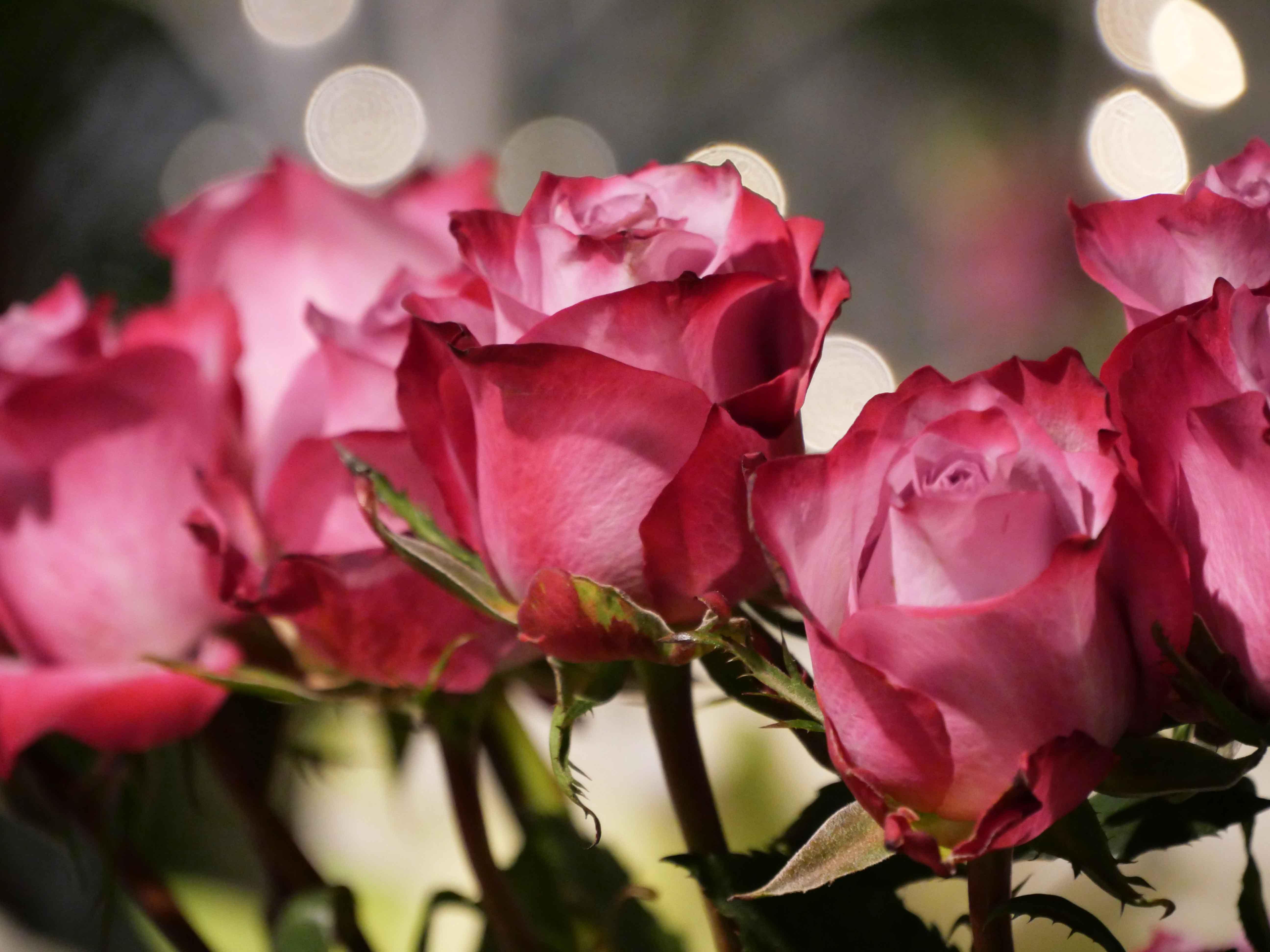 Roses fushia à offrir