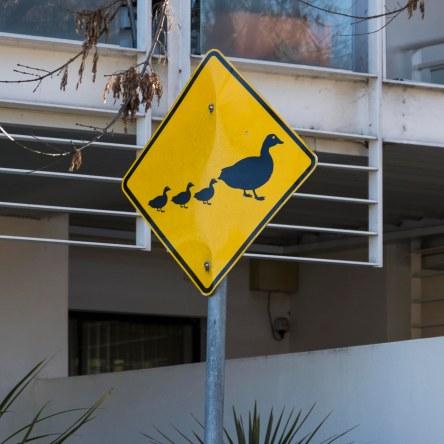 Ducks_Xing